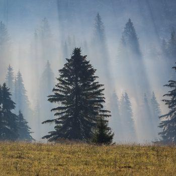 Smreky v hmle