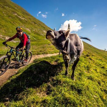 Trailová krava, čo mlieko dáva